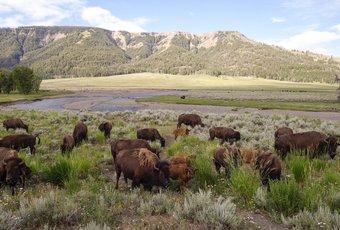 Le bison, un mets de choix importé du cœur des États-Unis